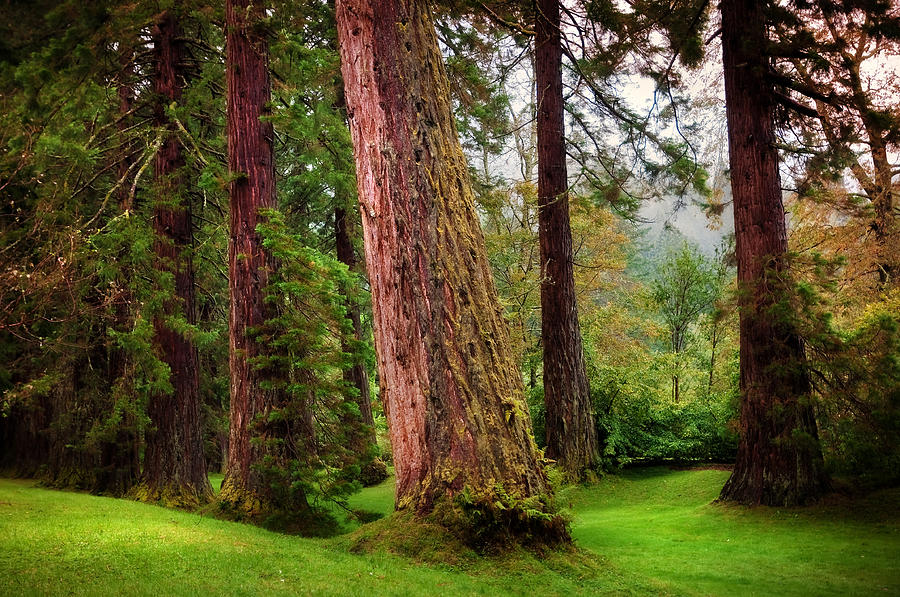 Scotland Photograph - Giant Sequoias. Benmore Botanical Garden. Scotland by Jenny Rainbow