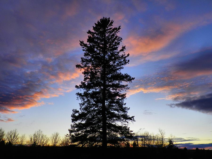 Spruce Photograph - Giant Spruce Tree Sunset by Gene Cyr