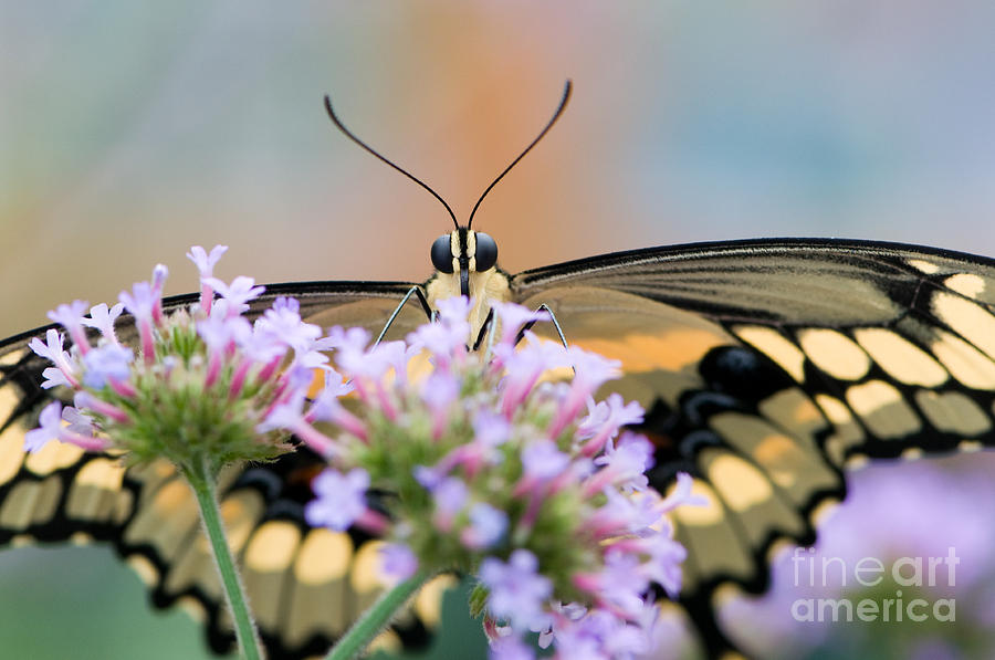 Color Photograph - Giant Swallowtail Butterfly by Oscar Gutierrez