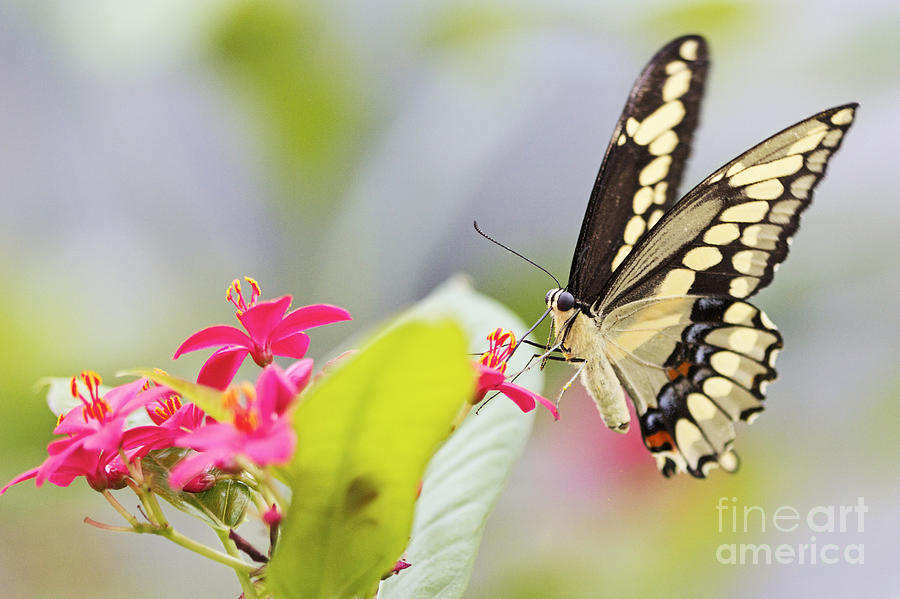 Butterfly Photograph - Giant Swallowtail II by Pamela Gail Torres