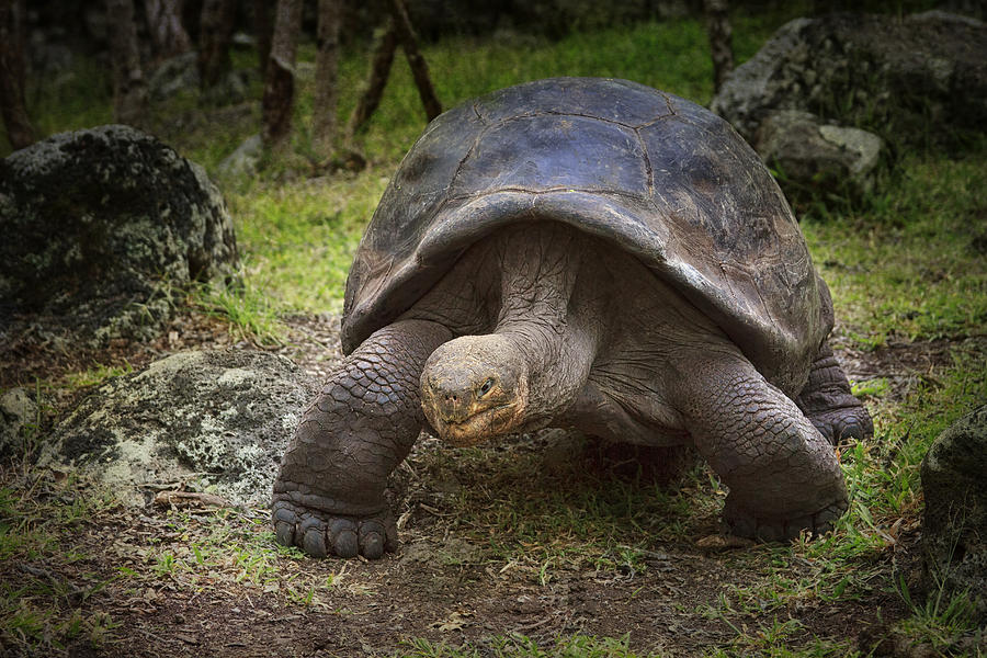 Tortoise Photograph - Giant Tortoise by Kim Andelkovic