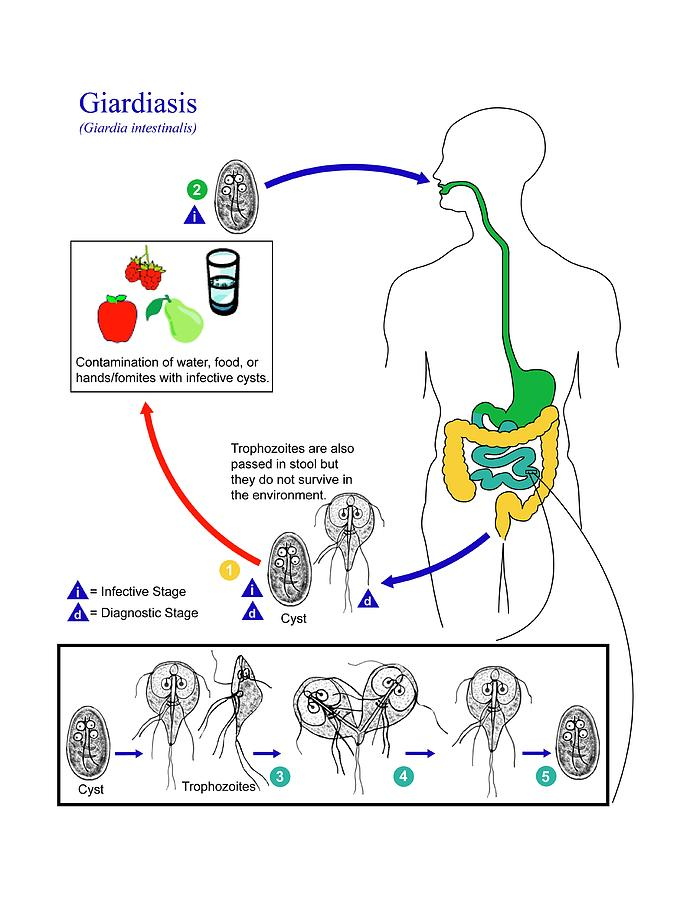 giardiasis life cycle cdc bélfergesseg tünetei emberen