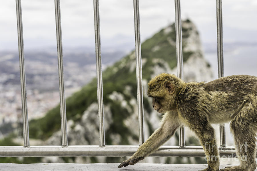 Monkey Photograph - Gibraltar Monkey by Stefano Piccini