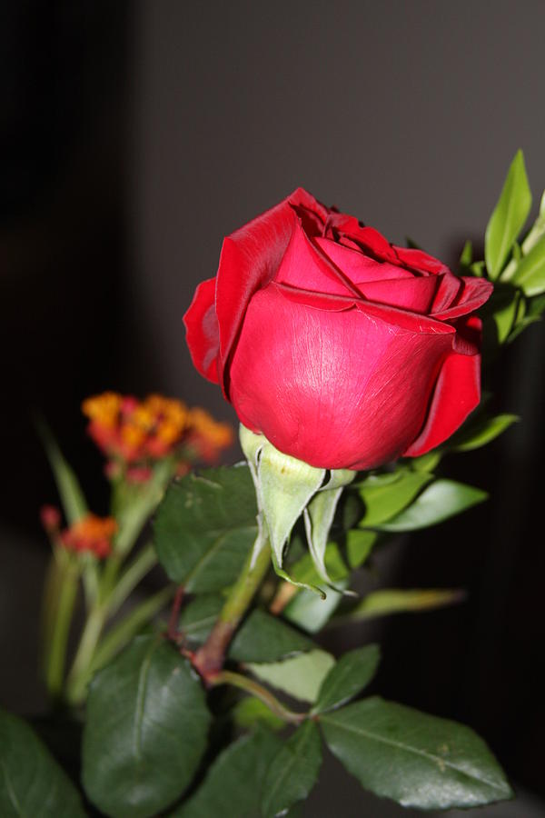 Rose Photograph - Gift by Vadim Levin