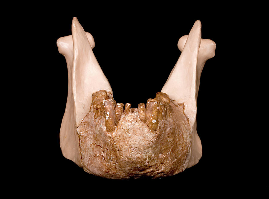 Specimen Photograph - Gigantopithecus Model Jaw by Natural History Museum, London/science Photo Library