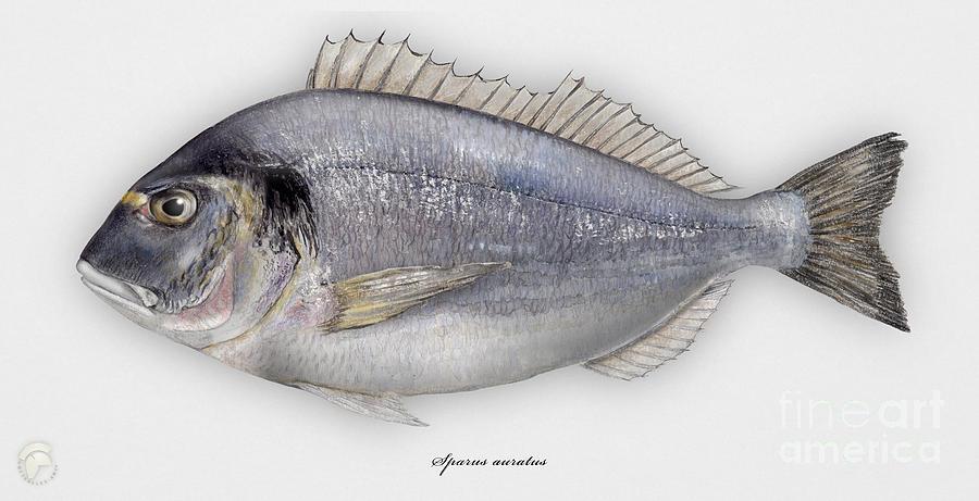 Gilthead Seabream Sparus Aurata - Daurade Royale - Dorada - Kultaotsasargi - Orata - Seafood Art Painting
