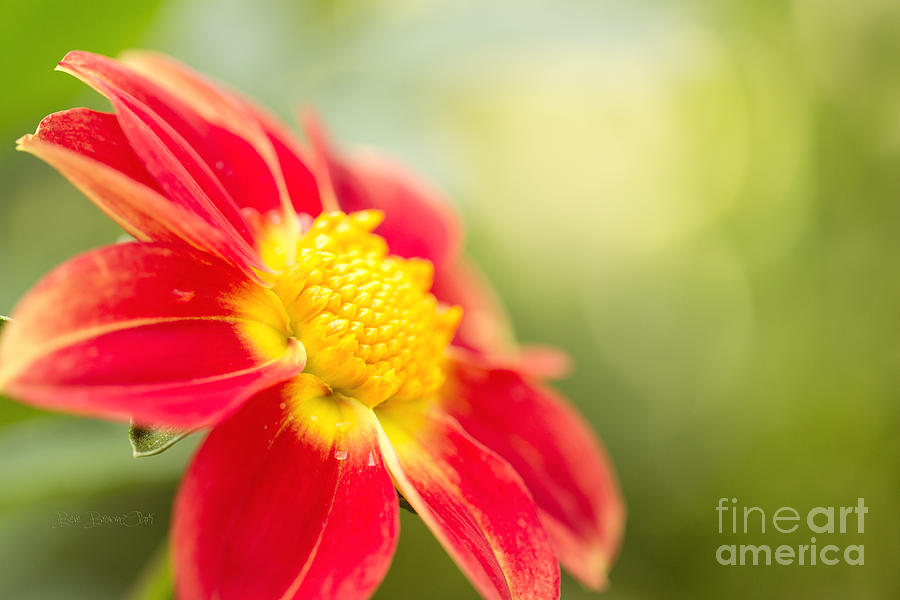 Dahlia Photograph - Ginger by Beve Brown-Clark Photography