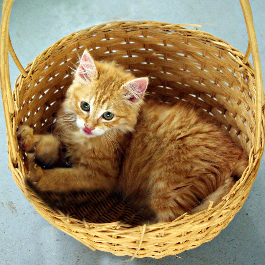 Kitten Photograph - Gingermegs by Helen Akerstrom Photography