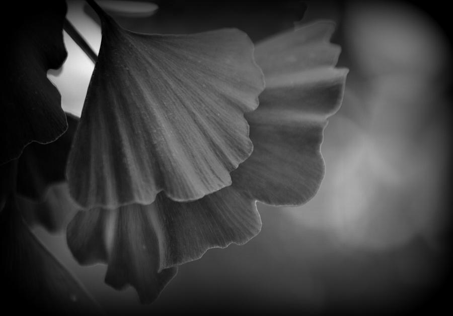 Plant Photograph - Ginkgo Biloba Leaves by Nathan Abbott