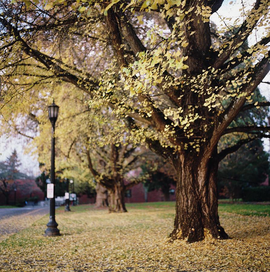 Ginkgo Tree In Autumn Photograph by Danielle D. Hughson