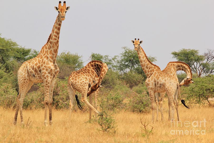 giraffe  african wildlife  funny bow hermanus a alberts - Collection of funny african wildlife photos