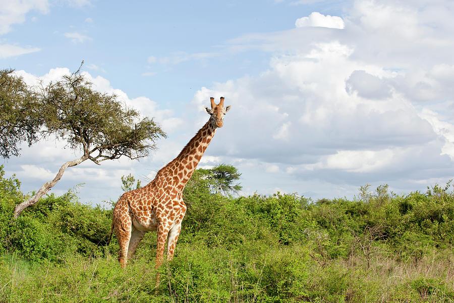 Giraffe Photograph by 1001slide