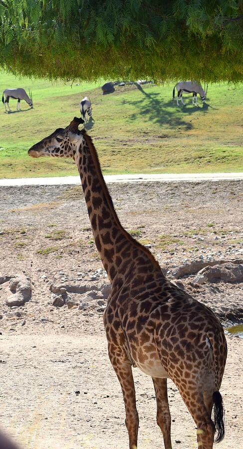 San Diego Photograph - Giraffe and friends by Steve Scheunemann