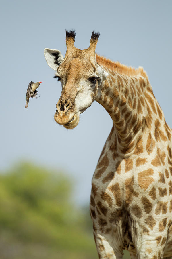 Giraffe And Red-billed Oxpecker Photograph by Paul Souders