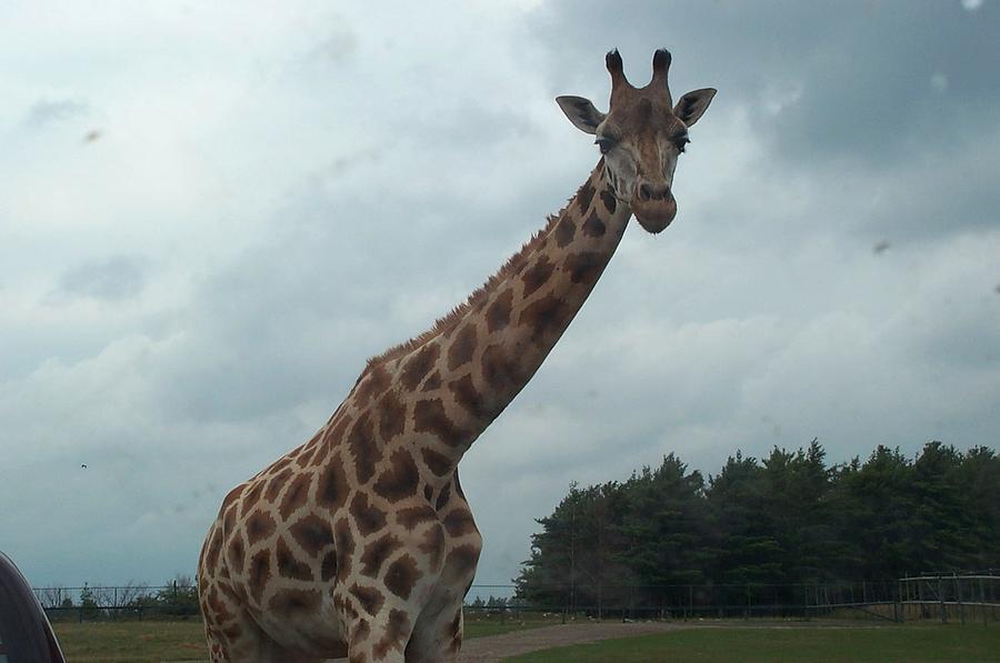 Wildlife Photograph - Giraffe by Barbara McDevitt