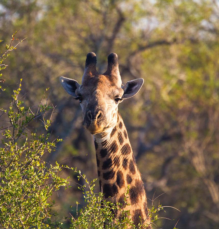 Africa Photograph - Giraffe by Craig Brown