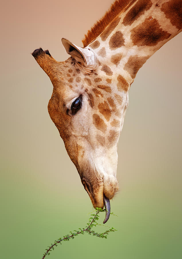Giraffe Photograph - Giraffe eating close-up by Johan Swanepoel