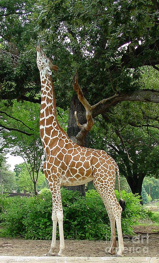 Giraffe Photograph - Giraffe Eats-09053 by Gary Gingrich Galleries