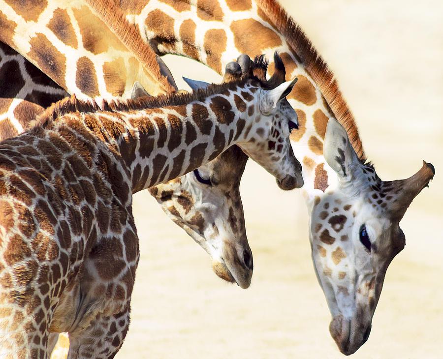 Giraffe Photograph - Giraffe Family by Camille Lopez