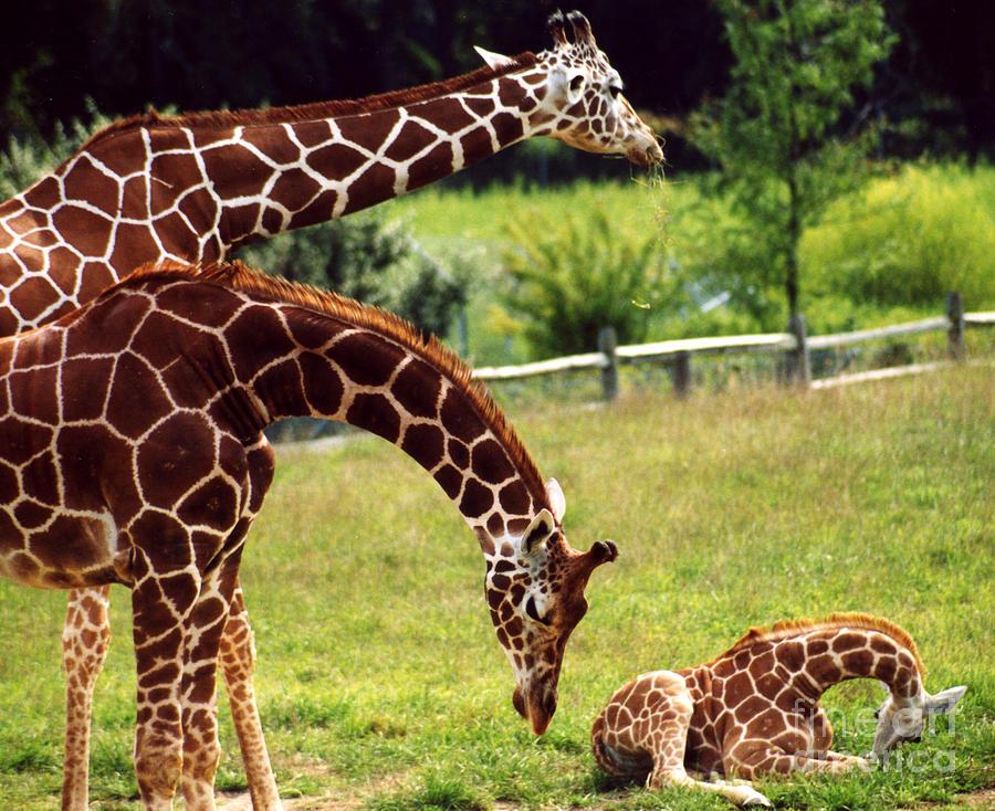 giraffe family photograph by cj mckendry