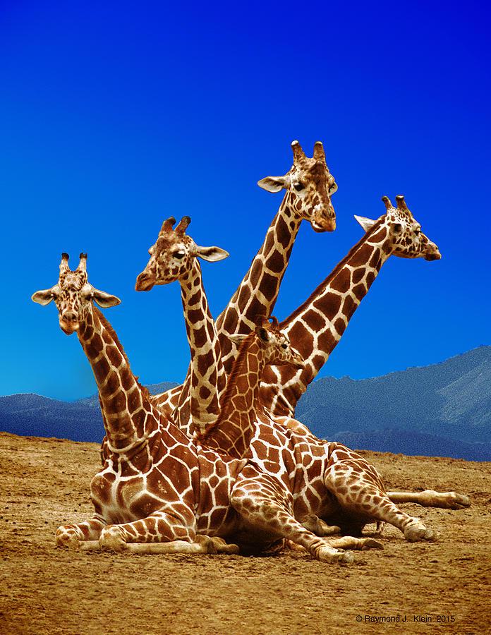 giraffe family photograph by raymond klein