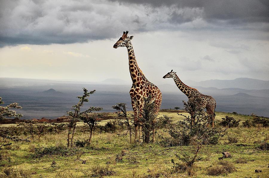 Giraffe Photograph - Giraffe by Giuseppe D\\\amico