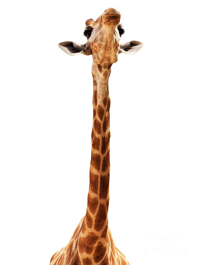 Africa Photograph - Giraffe Head Isolate On White by Mythja  Photography