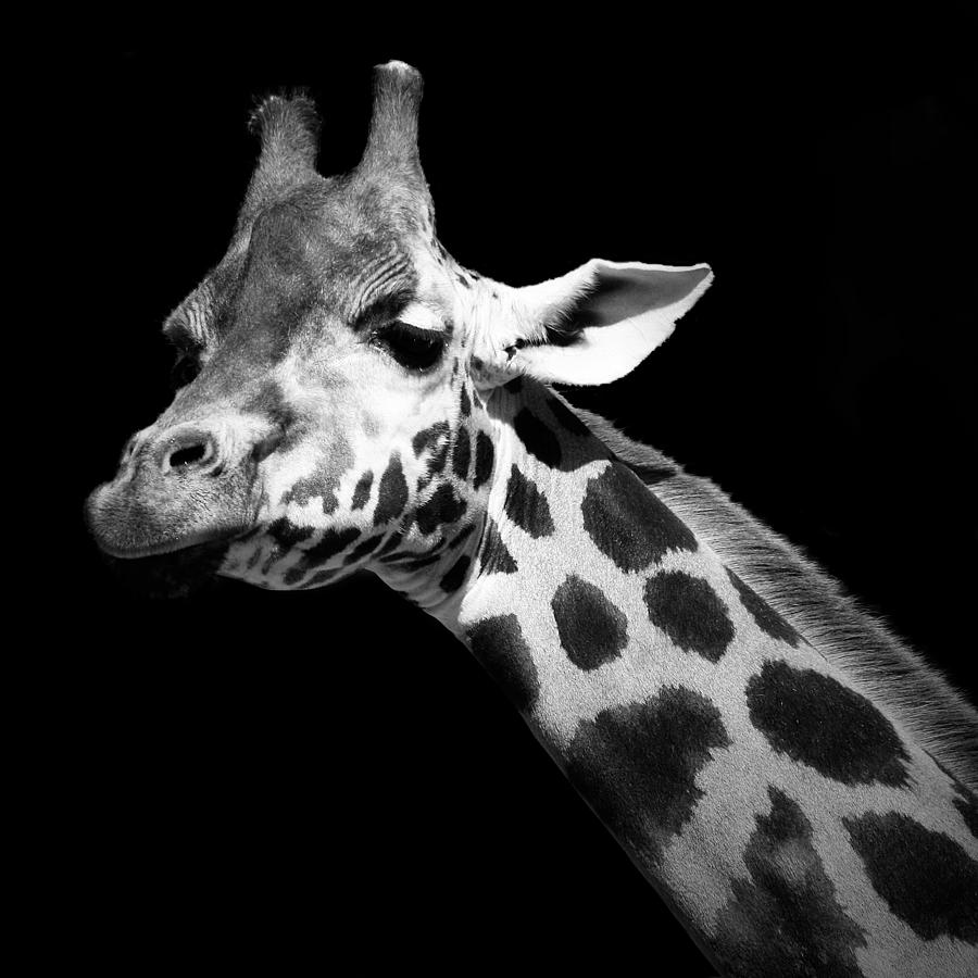 Giraffe photograph portrait of giraffe in black and white by lukas holas