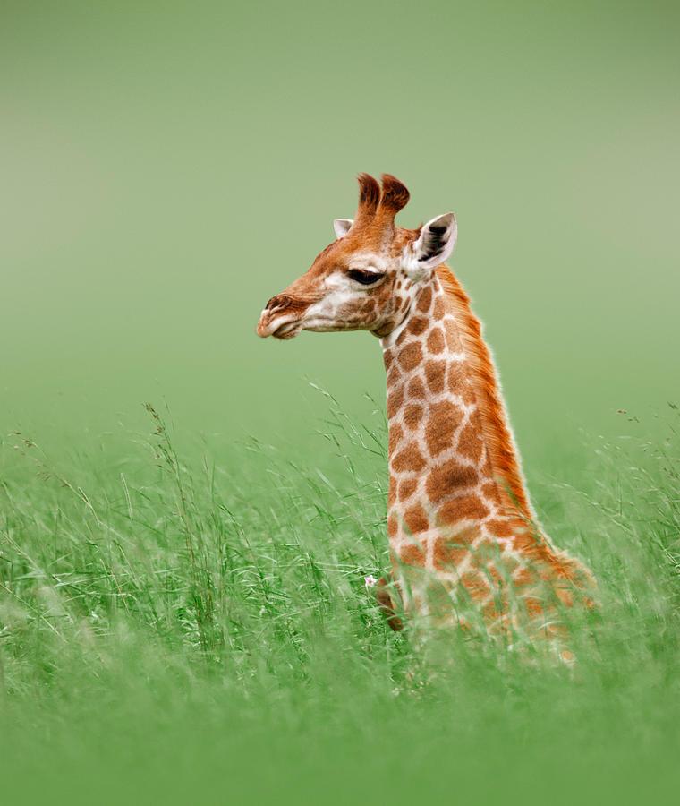 Giraffe Lying In Grass Photograph