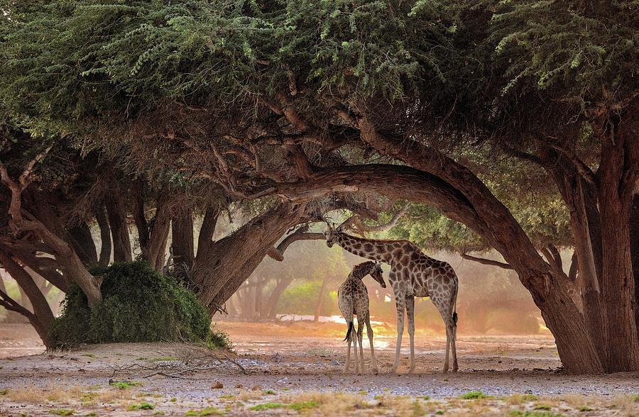 Nature Photograph - Giraffe - Namibia by Giuseppe D\\\amico