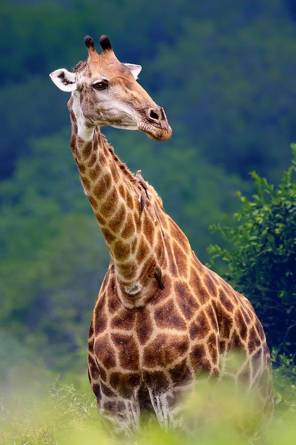 Giraffe Portrait Closeup Photograph