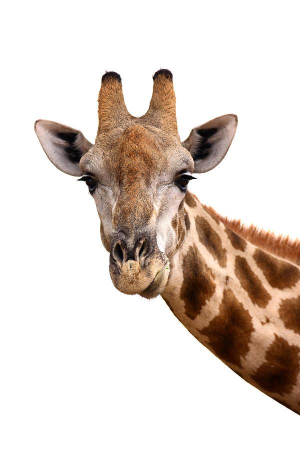Giraffe Photograph - Giraffe Portrait by Johan Swanepoel