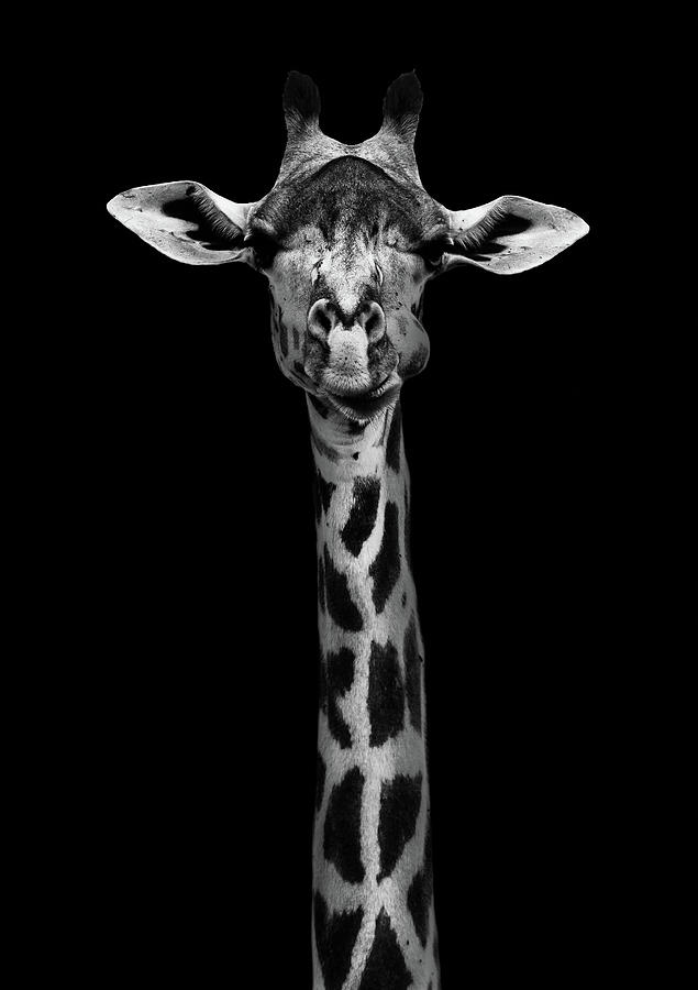 Africa Photograph - Giraffe Portrait by Wildphotoart