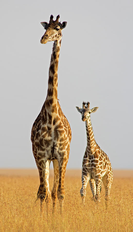 Giraffe With Calf Photograph by Wldavies