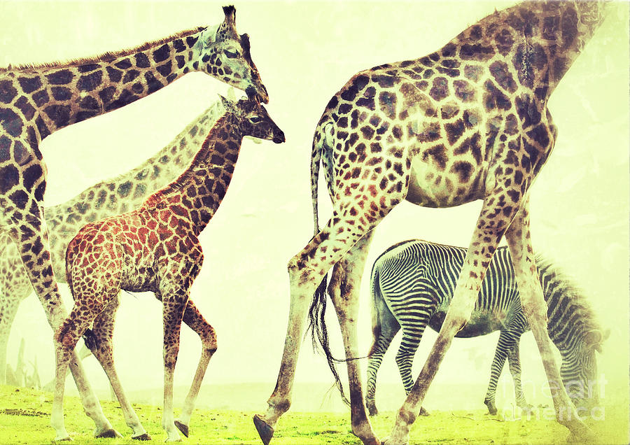 Giraffes And A Zebra In The Mist Photograph