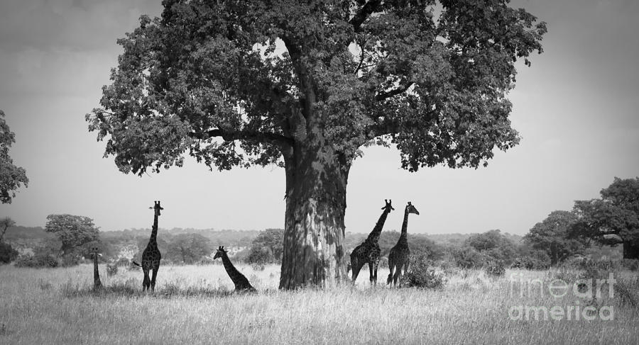 Giraffes Photograph - Giraffes And Baobab Tree by Chris Scroggins