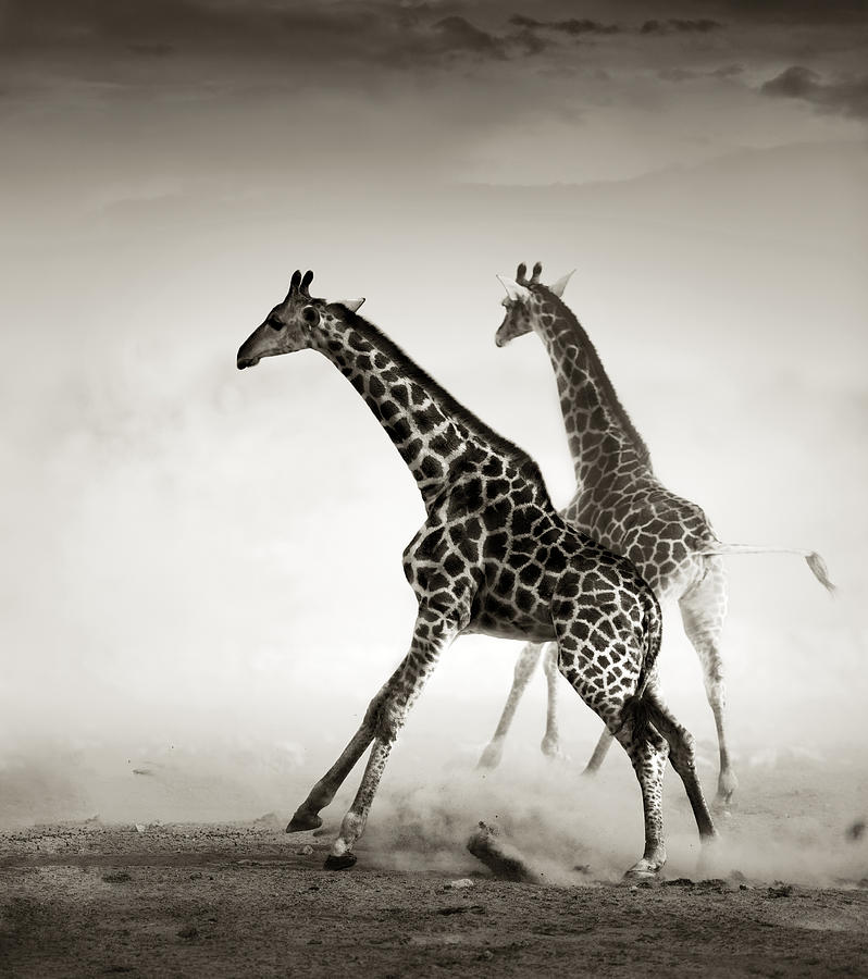Giraffe Photograph - Giraffes Fleeing by Johan Swanepoel