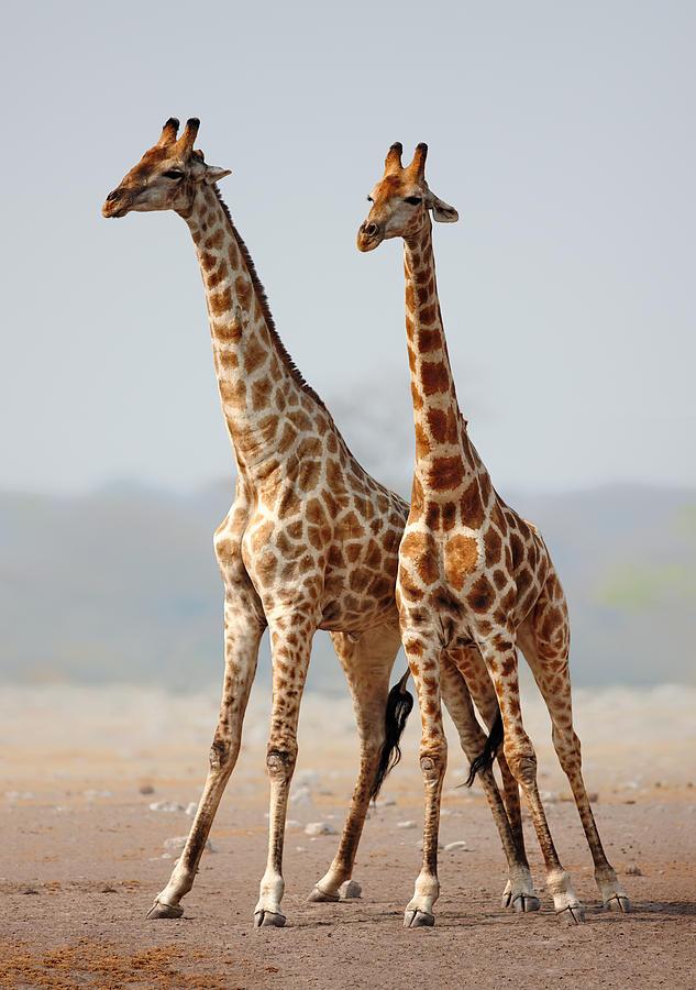 Giraffes Photograph - Giraffes Standing Together by Johan Swanepoel
