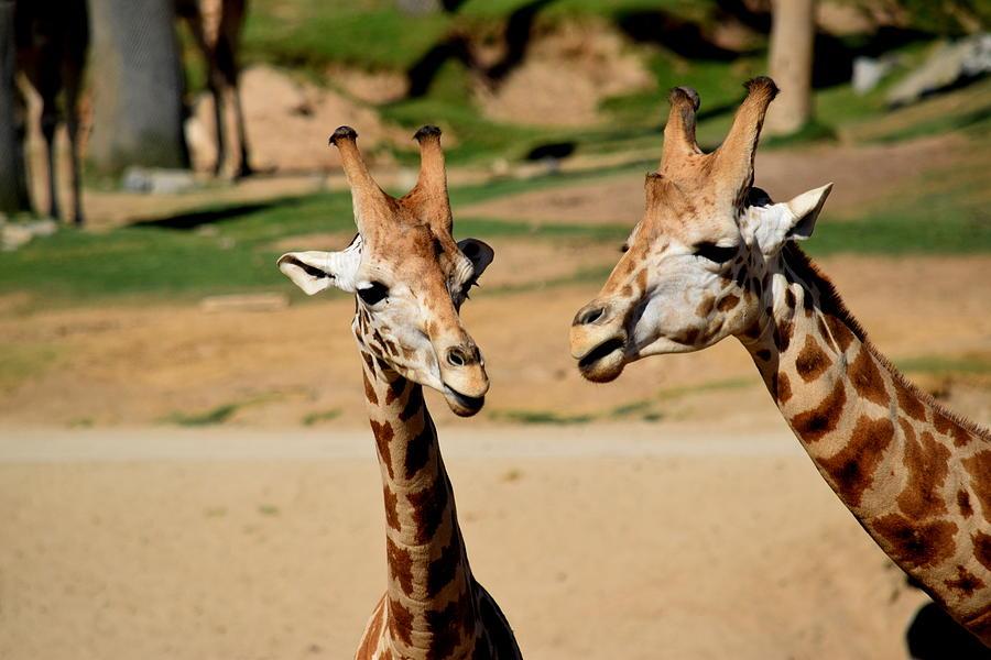 Giraffes Photograph