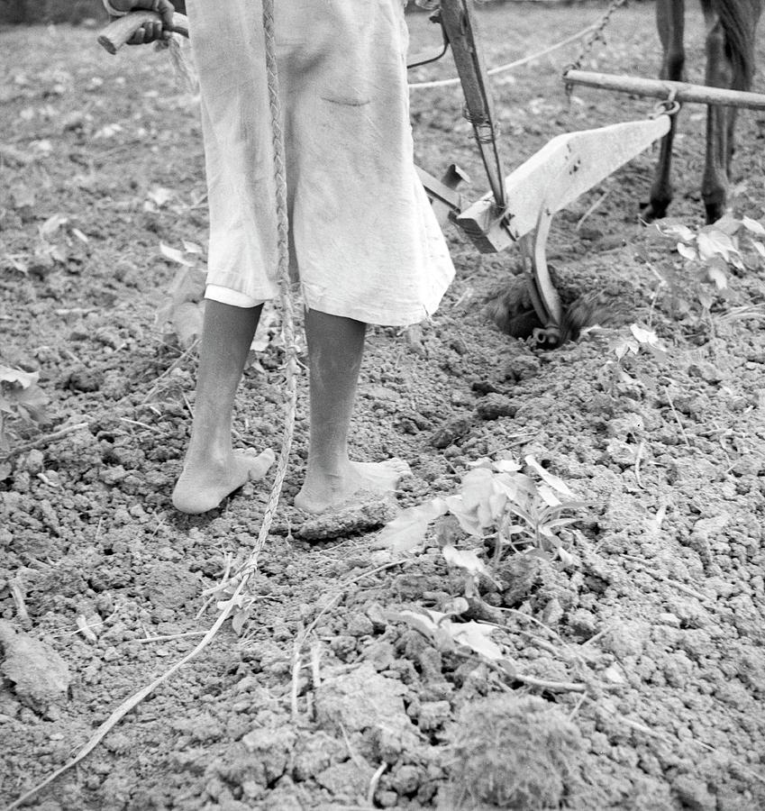 1900s Photograph - Girl Ploughing by Library Of Congress/science Photo Library