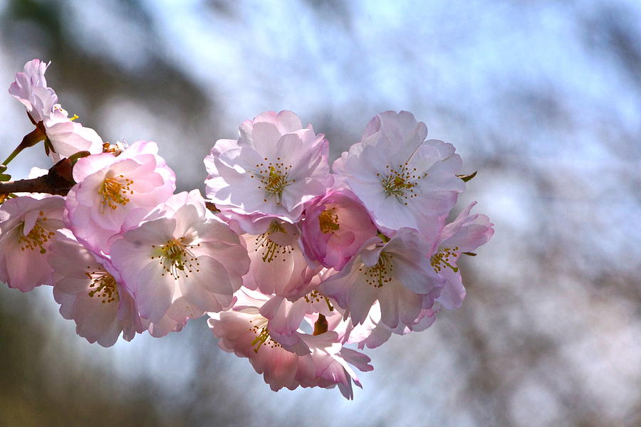 Cherry Blossoms And Heavenly Bokeh Photograph - Giving Thanks by Byron Varvarigos