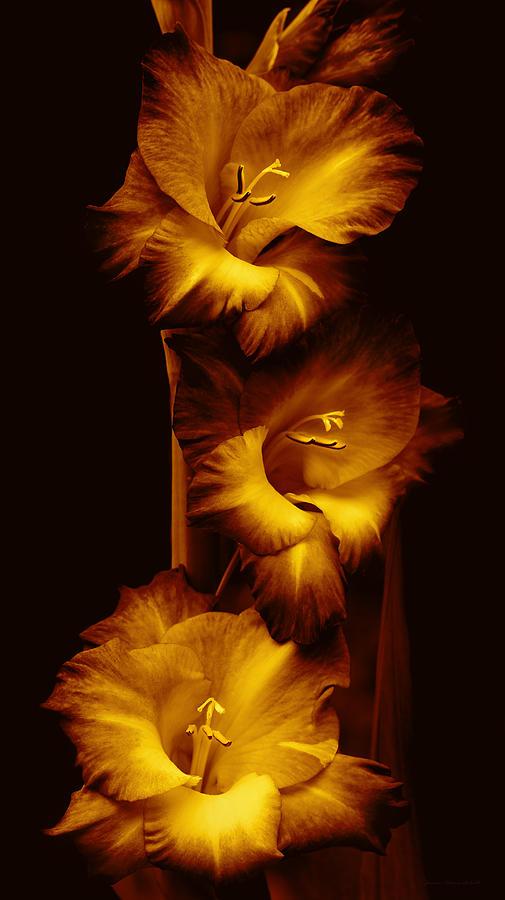 Gladiola Flowers Evening Golden Light