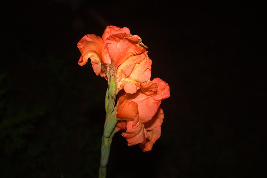 Flower Photograph - Gladiolus At Night by Edward Hamilton