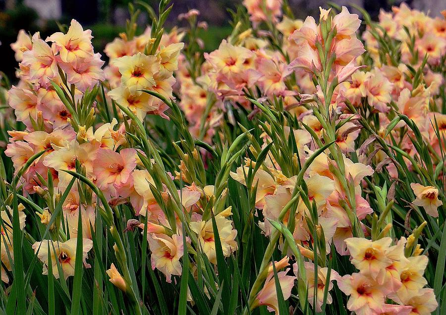 Gladiolus Flowers Photograph By Johnson Moya