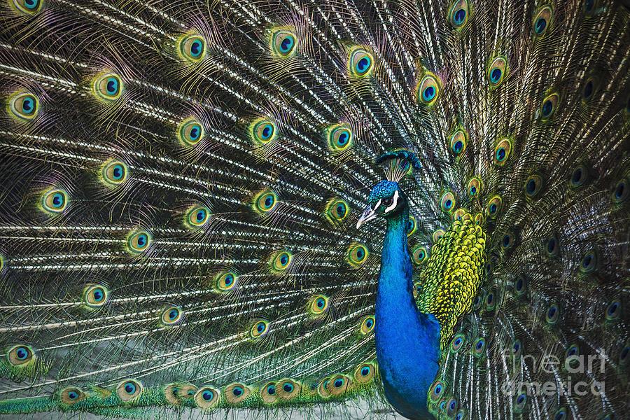 Peacock Photograph - Glamour by Andrew Paranavitana
