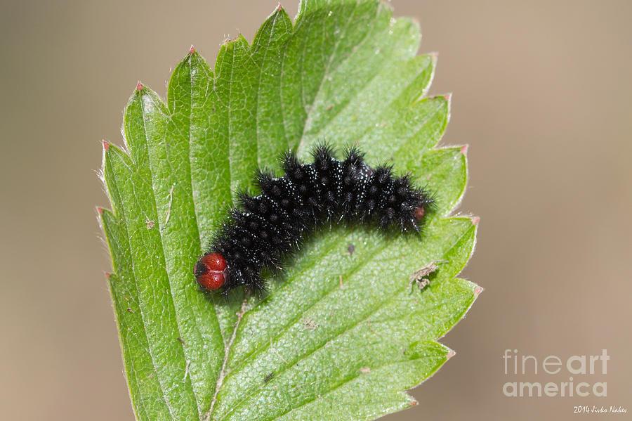 Bulgaria Photograph - Glanville Fritillary Butterfly Caterpillar - Melitaea Cinxia by Jivko Nakev