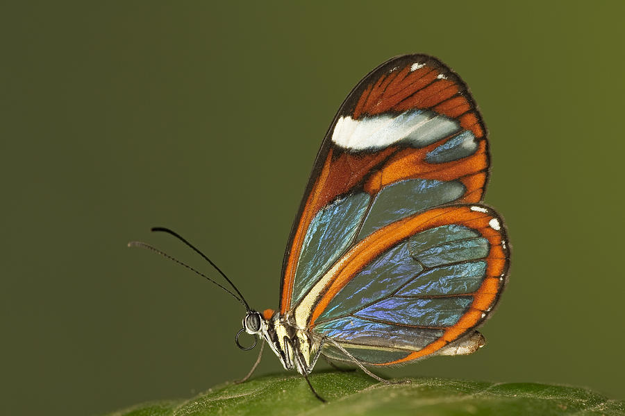 Glasswing Butterfly Photograph by Ingo Arndt