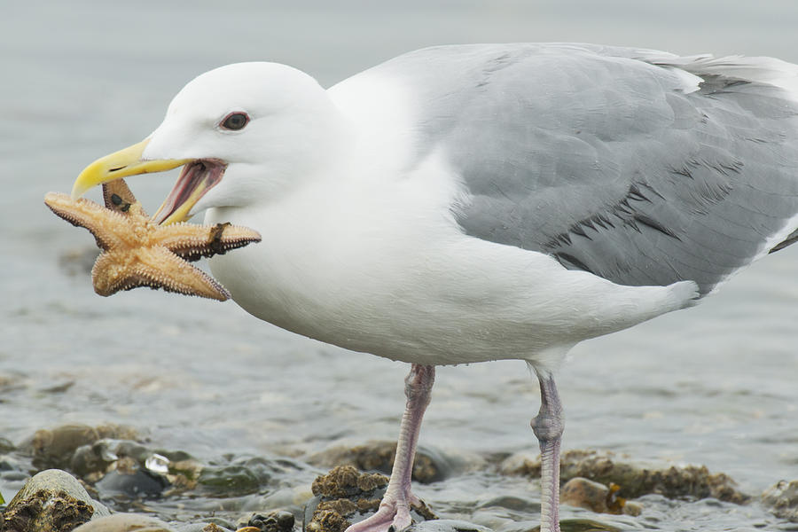 Glaucous-winged Gull Eating A Seastar Photograph by Kevin Schafer