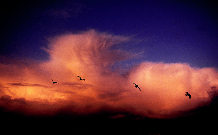 Backlit Photograph - Glaucous-winged Gulls Larus Glaucescens by Dan Rafla