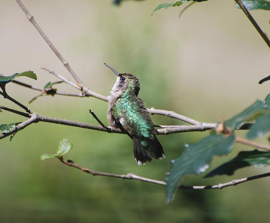 Hummingbird Photograph - Glistening Hummer by Amy Porter